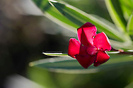 A close-up of red Oleander (Nerium oleader) on the Orkos Estate, Paxos, Greece, Europe