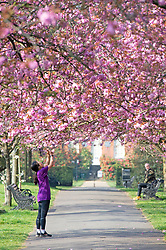 ©Licensed to London News Pictures 08/04/2020  <br /> Greenwich, UK. A young lady taking pictures of the cherry blossom on her phone. People get out of the house from Coronavirus lockdown to exercise and enjoy the sunny weather in Greenwich park,Greenwich, London. Photo credit:Grant Falvey/LNP