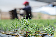 Workers tend to oyamel fir tree sprouts at a reforestation project outside the Sierra Chincua Biosphere Reserve January 20, 2020 in Angangueo, Michoacan, Mexico. Millions of migrating monarch butterflies rely on the massive fir trees for overwintering which have been cut by illegal logging in the Central Mexican mountains.