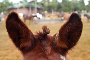 07 SEPTEMBER 2002 - GRAND CANYON NATIONAL PARK, ARIZONA, USA:  A mule points his ears forward in the mule corral in the Grand Canyon National Park, Saturday, Sept. 7. The mule rides into the canyon one of the most popular activities at the Park. There are about 150 mules, 11 wranglers, 2 farriers and a saddle maker working in the park. On any given day about 80 mules are in the canyon hauling people or packing supplies into the inner canyon..PHOTO BY JACK KURTZ