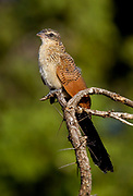 White-browed Coucal (Centropus superciliosus) fromTarangire National Park, Tanzania.