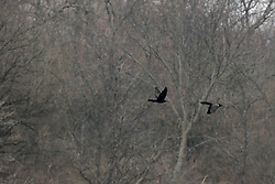 Double Crested Cormorant (Phalacrocorax auritus) flying over Evergreen Lake in Comlara Park in McLean County Illinois
