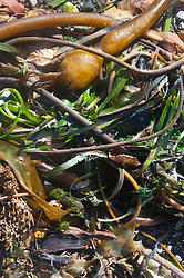 Kelp Detail, Stuart Island, Washington, US
