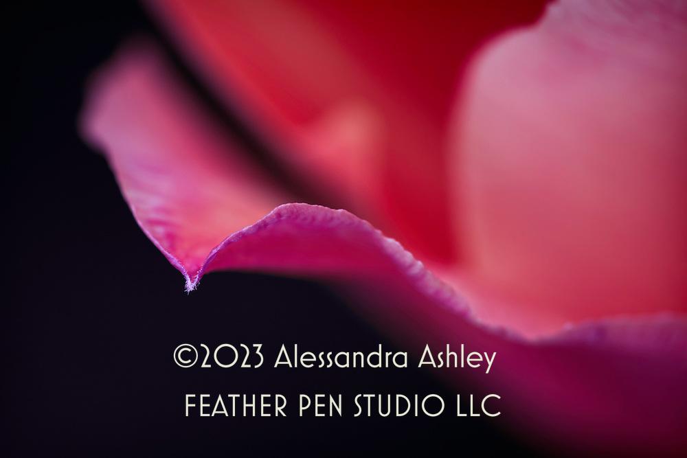 Macro view, luminous pink tulip petals, with selective focus on petal tip.