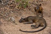 Fossa (Cryptoprocta ferox)<br /> Kirindy<br /> Southwestern Madagascar<br /> MADAGASCAR<br /> ENDEMIC