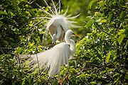 A great egret (Ardea alba) displays in breeding plumage at Wakodahatchee wetlands, Florida.