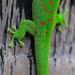 Phelsuma ornata, le Gecko diurne orné de l'île Maurice