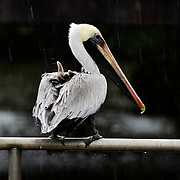 A pelican is seen perched on a hand rail during a rain storm along William Hilton Pkwy and Shelter Cove Ln on February 5, 2015.