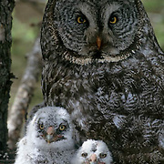 Great Gray Owl (Strix nebulosa) portrait of adult and chicks in the nest in an old growth forest during the springtime.