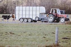 THEMENBILD - ein Landwirt lädt seine Kühe in einem Anhänger, aufgenommen am 17. Novemeber 2020 in Kaprun, Österreich // a farmer loads his cows in a trailer, Kaprun, Austria on 2020/11/17. EXPA Pictures © 2020, PhotoCredit: EXPA/ JFK