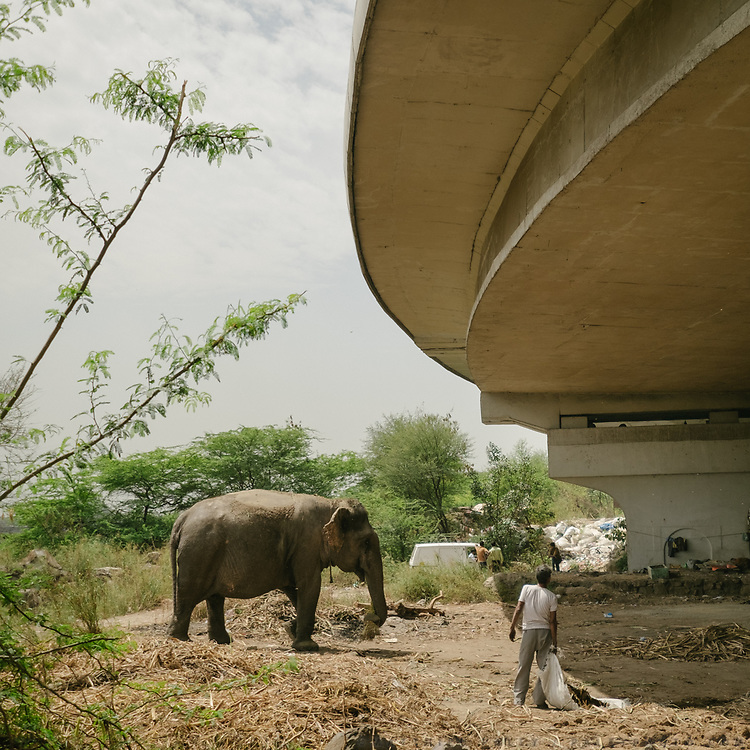 Elephant living with the recyclers, under a highway, used for weddings etc.