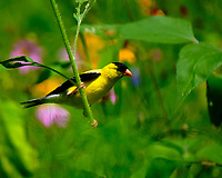 American Goldfinch looking for a Cornflower Lunch. Image taken with a Fuji X-T2 camera and 100-400 mm OIS lens