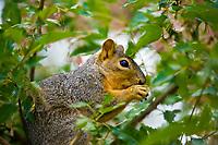 A squirrel in a tree, Littleton, Colorado USA