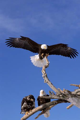 Bald Eagle (Haliaeetus leucocephalus).  A pair of adults with an immature in Alaska.