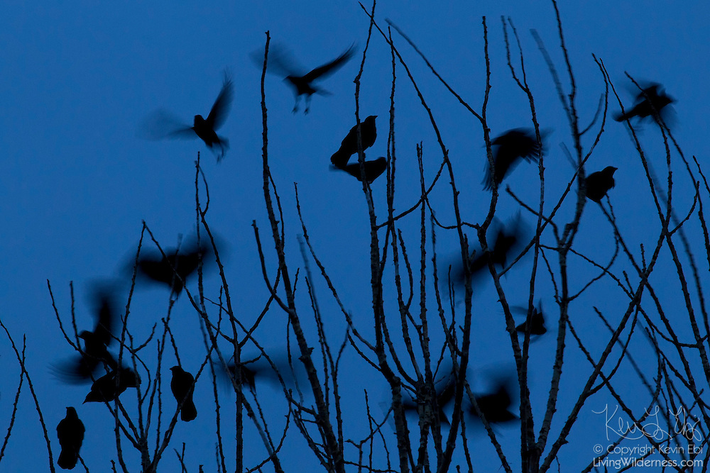 Numerous crows (Corvus brachyrhynchos) take off from a tree at dawn in winter. The motion of the birds in flight is blurred by a long camera exposure. A large flock of crows is known as a murder.