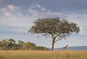 Landscape with view of savannah with a single giraffe walking by an acacia tree, Serengeti National Park, Tanzania
