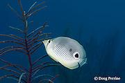 foureye or four-eyed butterflyfish, Chaetodon capistratus, feeding on sea plume ( gorgonian soft coral ), Pseudopterogorgia sp., Lighthouse Reef Atoll, Belize, Central America ( Caribbean Sea )