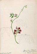 """Sketchbook No. 9 - Water-color sketches of plants of North America and Europe [graphic], Painted between June 1888 to September 1910 by Helen Sharp. Eighteen albums of water-color sketches by Helen Sharp of flowering plants and shrubs common to the United States, especially New England, as well as to Bermuda and parts of Europe, dated between June 1888 and Sept. 1910. Sketches in water-color and ink on paper (26 x 18 cm. or smaller) include botanical captions in Latin, along with Sharp""""s notes on the common name and physical characteristics of each plant, and location and date of drawing. There is also a table of contents at the front of each sketchbook. The first 16 albums contain sketches of plants common in New England, in towns of Massachusetts such as Nantucket, Taunton, Boston, No. Andover, Marblehead, Hingham, Gloucester; Maine (York, Sorrento); New Hampshire (Surrey), and Connecticut. Volume 17 contains sketches of plants made by the artist while traveling in Switzerland, Italy, England, and France, while v. 18 contains sketches of tropical fruits and flowers of Bermuda, completed during Sharp""""s visits of 1892, 1893, and 1903."""