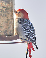 Red-bellied Woodpecker (Melanerpes carolinus). Image taken with a Nikon D5 camera and 600 mm f/4 VR lens.