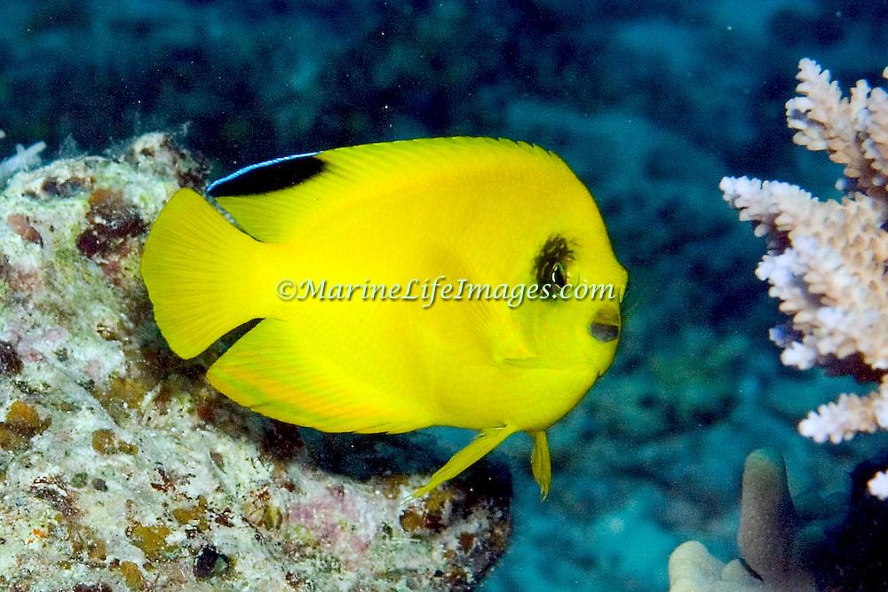 Yellow Pygmy Angelfish inhabit reefs. Picture taken Fiji.