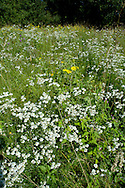Meadow - SHORT-TAILED VOLE HABITAT