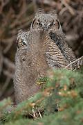 Great horned owl chicks exhibitng branching behavior