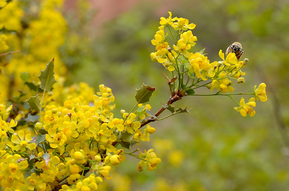 Bee collecting pollen from the flower of a Freemont's Mahonia, also known as Freemont's Barberry, Robbers Roost Canyon, Utah.
