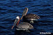 brown pelicans, Pelecanus occidentalis, mature in breeding colors in front, immature at rear, Galapagos Islands, Ecuador,  ( Eastern Pacific Ocean )