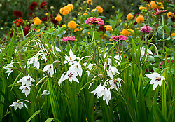 Gladiolus callianthus syn. Acidanthera murielae with dahlias in the background