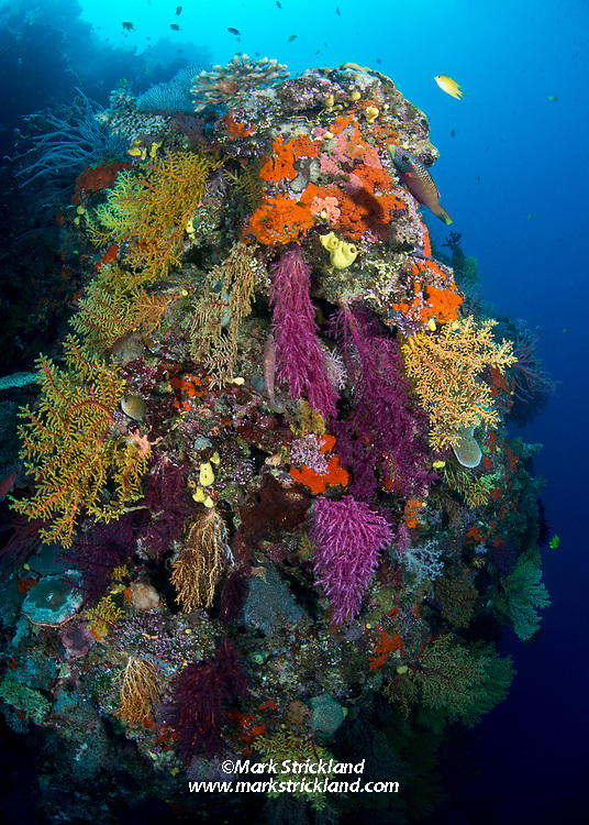 Colorful Chironepthya soft coral cover Rainbow Wall at Mount Mutiny, Bligh Water, Fiji, Pacifc Ocean