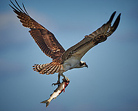Osprey with a Fish. Biolab Road, Merritt Island National Wildlife Refuge. Image taken with a Nikon D4 camera and 500 mm f/4 VR lens (ISO 360, 500 mm, f/8, 1/1000 sec).