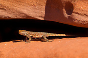 A side-blotched lizard (Uta stansburiana) rests in a crack in a sandstone cliff in the Grand Canyon-Parashant National Monument near Tuweep, Arizona.