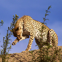 Africa, East Africa, Tanzania, Serengeti. A cheetah pauses to lick it's paw in the Serengeti.