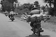 Farmers ferry their pigs to a local market near the town of Kampong Thom.