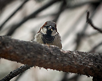 Male House Sparrow. Boulder Marriott Residence Inn. Image taken with a Nikon D2xs  camera and 70-200 mm f/2.8 lens.