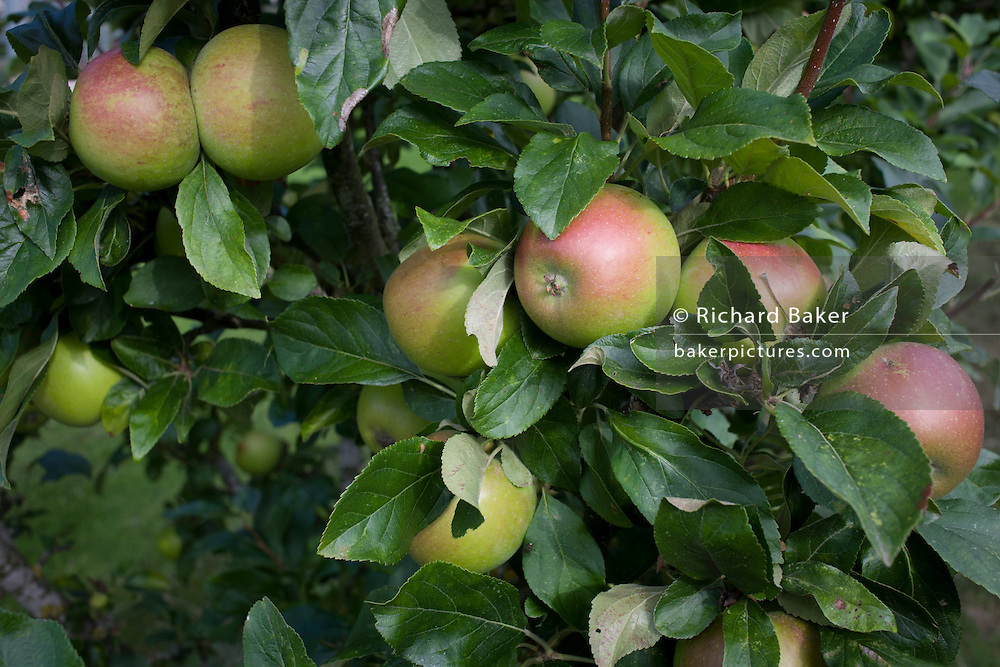 Eating apples growing on trees in a Somerset garden orchard.