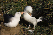 Black-browed Albatross (Thalassarche melanophrys) Mutual Preening.<br /> Steeple Jason Island. FALKLAND ISLANDS.<br /> They return to the same nest annually. The nest is a a solid pillar up to 50cm high of mud and guano with some grass and seaweed incorporated. A single egg is laid in October and juveniles fledge between mid March and April. They have a circumpolar range betweeen 65 S and 20 south and breed on Subantarctic Islands, Including South Georgia and islands off southern South America. In the Falklands they are also found on Beauchene, Saunders, West Point and New Island.<br /> The Jasons (Grand, Elephant and Steeple) are a chain of islands 40 miles (64km) north and west off West Falkland towards Patagonia. Steeple is 6 by 1 mile (10Km by 1.6km) in size. From the coast the land rises steeply to a rocky ridge running along the length. <br /> THIS ISLAND HAS THE LARGEST BLACK-BROWED COLONY IN THE WORLD WITH 100,000+ PAIRS. The island is owned by WCS (Wildlife Conservation Society) Falklands Conservation have an ongoing research project with the Albatross on Steeple Jason.<br /> LISTED AS ENDANGERED