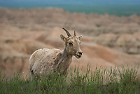 A small herd of bighorn sheep were grazing along one of the overlooks at Badlands National Park.
