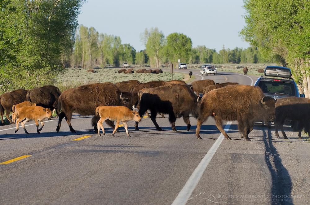 Herd of Bison crossing road in Grand Teton National Park Wyoming