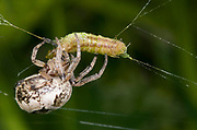 Close-up of a female foliate spider (Larinioides cornutus) feeding on a caterpillar in a damp woodland habitat in Norfolk