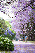 Cyclists, Blossoming Jacaranda trees, Buenos Aires, Argentina, South America