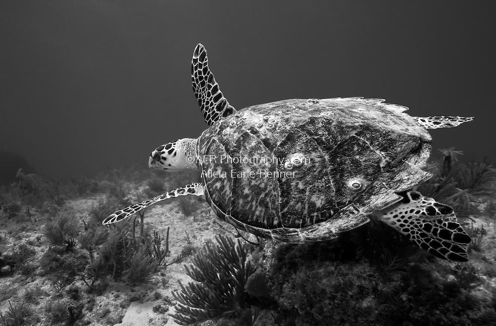 Florida Keys Hawks bill turtle