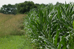 Corn (Maize) plant<br /> <br /> Finfrock State Natural Habitat Area (Illinois)