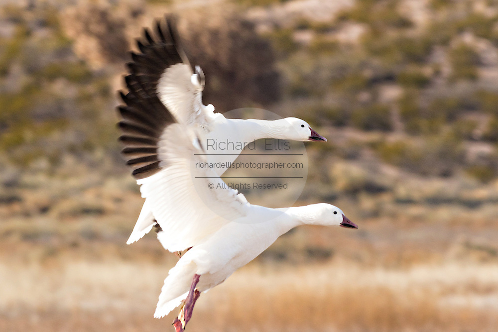 A snow geese flying at the Bosque del Apache National Wildlife Refuge in San Antonio, New Mexico. About 32,000 snow geese overwinter at the refugee and move in mass during the morning and evenings.