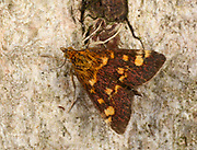 Close-up of a Common Purple and Gold moth (Pyrausta purpuralis) resting on tree bark in a Norfolk garden in summer