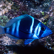 Indigo Hamlet inhabit reefs are common in NW Caribbean, uncommon to rare balance of Tropical West Atalantic; picture taken Grand Cayman.