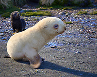 Blondie Baby Fur Seal and its dark brother on the beach near Grytviken in South Georgia. Image taken with a Leica T camera and 18-56 mm lens (ISO 100, 56 mm, f/6.2, 1/160 sec). Raw image processed with Capture One Pro 8, Focus Magic, and Photoshop CC 2014.