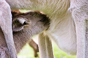 Eastern Grey Kangaroo joey feeds from its mother's pouch, Queensland, Australia