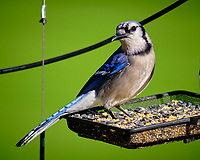 Blue Jay.  Image taken with a Fuji X-T3 camera and 200 mm f/2 telephoto lens + 1.4x Teleconverter