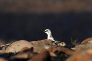 Ptarmigan, Lagopus mutus, female, Winter plumage, Bealach na Ba, Applecross Hills, Applecross, Ross-shire, Highland.